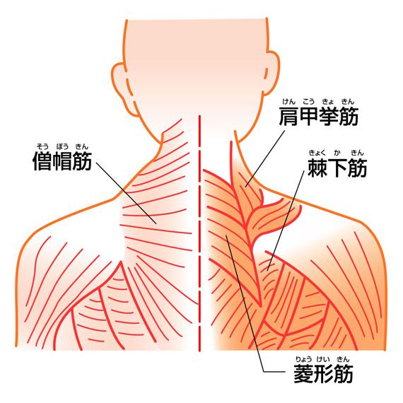 肩の筋肉②