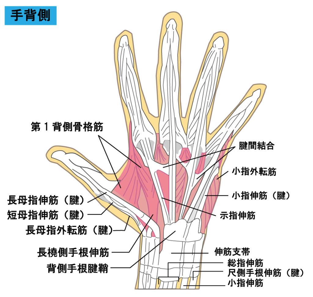 親指 の 付け根 名前 親指 - Wikipedia